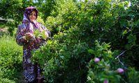 جشنواره گل محمدی در روستای عنصرود +عکس