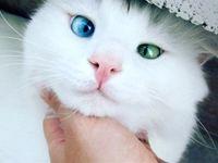 کرونا از طریق گربهها هم منتقل میشود!