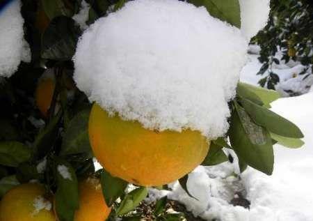 میوه شیرین و کام تلخ