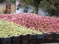 خطر تصادف با سیب؛ آهسته برانید +تصاویر