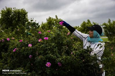 برداشت گل محمدی از مزارع مازندران