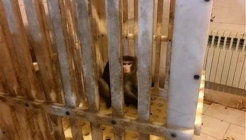 به دام انداختن میمون در دانشگاه علوم و تحقیقات! +تصاویر