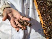 مزرعه پرورش زنبور عسل +تصاویر