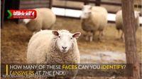 گوسفندان شناساگر +فیلم
