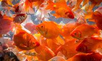 ماهی قرمز بخریم یا نخریم؟