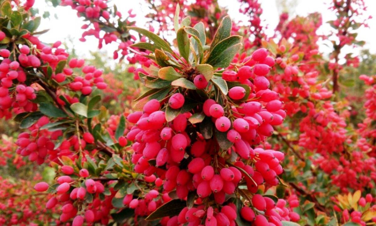 معجزه میوه بربرین ، در درمان دیابت و کلسترول خون