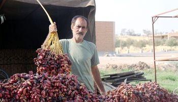 افزایش 21درصدی تولید خرمای کشور