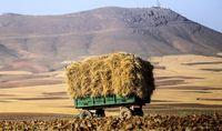 پیشبینی تولید 14میلیون تن گندم در سال زراعی جدید