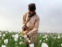 کشاورزان افغانی دوباره تریاک کشت میکنند