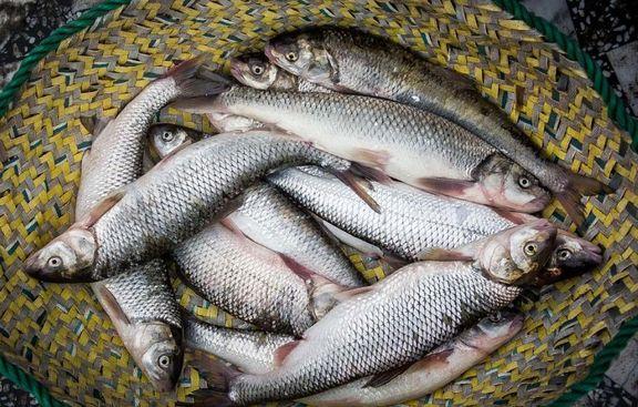 بچه ماهی نایاب میشود/ افزایش قیمت هر کیلو قزلآلا به بیش از ۵۰هزار تومان!