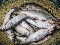 اصلاح نژاد ماهی قزلآلا با همکاری فائو/ از خروج سالانه 5میلیون دلار ارز جلوگیری میشود