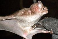 حل مشکل فشار خون با زهر خفاش خون آشام!