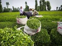 چای ایرانی ارزان شد