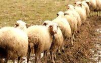 عرضه ۲۷۰ هزار گوسفند برای تنظیم بازار تاسوعا و عاشورا