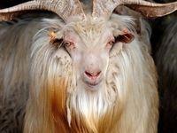 مشتریان موی حیوانات ایرانی کدام کشورها هستند؟