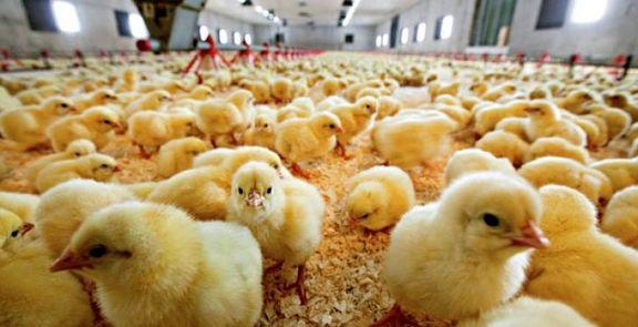 تعدیل قیمت مرغ با واردات جوجه یکروزه از ترکیه
