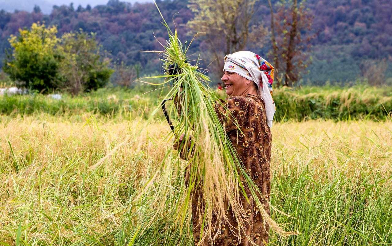 برداشت خوشههای برنج در گیلان