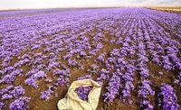 افزایش  ۱۵درصدی صادرات زعفران