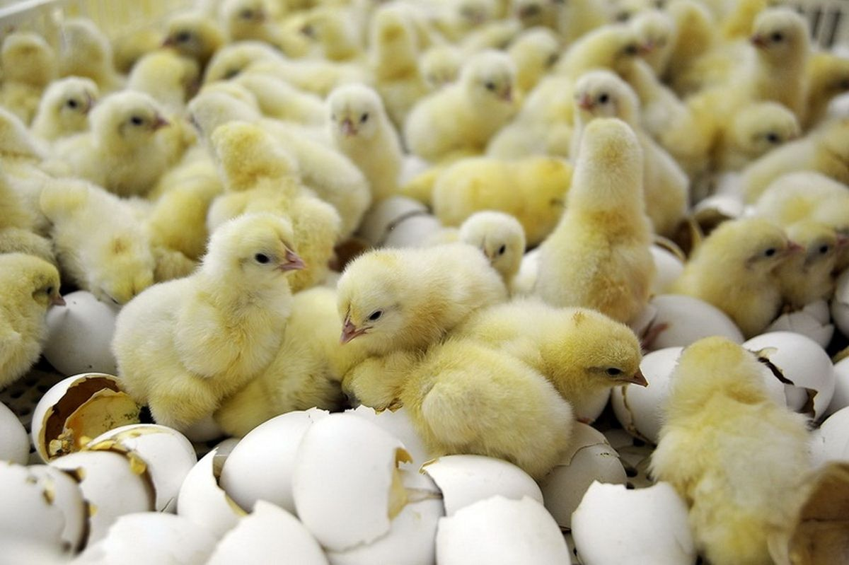 مخالفت وزارت جهاد کشاورزی با صادرات تخم مرغ مولد