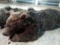 تلف شدن ۲ قلاده خرس در حادثه رانندگی +عکس