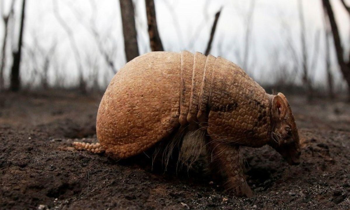 تنها جانور زنده مانده از آتشسوزی جنگلهای بولیوی +عکس