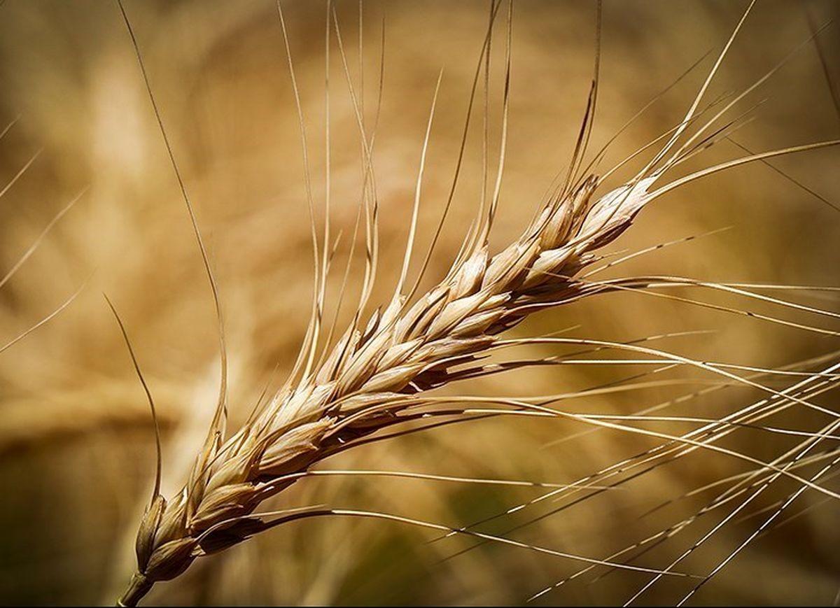 حداقل قیمت هر کیلو گندم وارداتی ۸هزار تومان