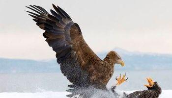 جنگ عقابها در عکس روز نشنال جئوگرافیک