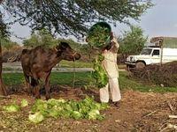 صادرات گوشت گاو هندی قربانی کرونا شد