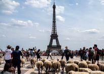 گشت و گذار گوسفندان در برج ایفل! +تصاویر