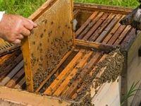 نیش کرونا به بزرگترین زنبورداران جهان!