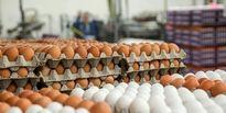 آغاز توزیع تخممرغ با قیمت۳۰ تا ۳۳هزار تومان در تهران