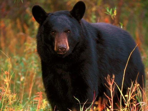 حمله وحشتناک خرس سیرک به مربیاش +عکس