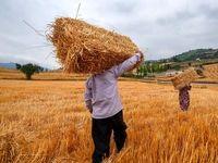گندم ایرانی همچنان درگیر واردات است/ صادرات گندم ایرانی به ۱۰کشور