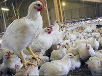 قیمت مرغ به ۸۳۰۰تومان رسید