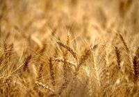هدفگذاری تولید بیش از ۱۳میلیون تن گندم در برنامه ششم