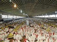 کاهش قیمت مرغ با کنترل دلال بازی در توزیع نهادهها
