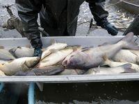 دلایل کاهش سرانه مصرف ماهی در ایران
