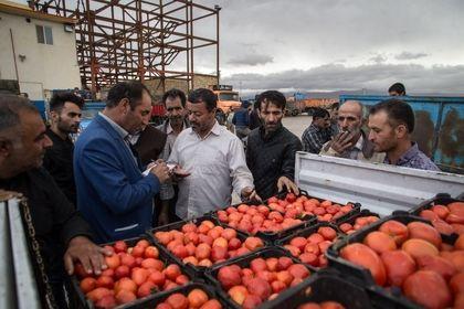 برداشت گوجهفرنگی در دشت قزوین +عکس