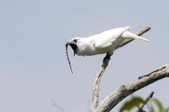 این پرنده بلندترین صدای جهان را دارد!