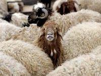 تهرانیها دام عید قربان را از کجا بخرند؟