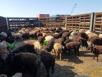 واردات هرگونه حیوان خوراکی و خانگی از کشورهای کرونایی ممنوع شد