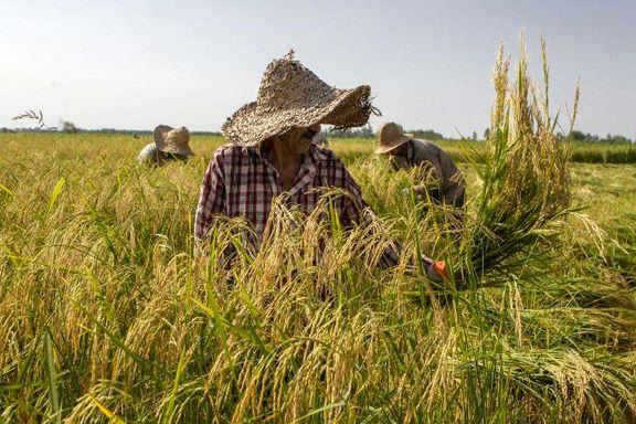 سالمترین برنج گیلان در حال برداشت