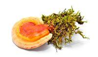 درباره خواص قارچ گانودرما چه میدانید؟