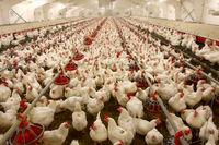قیمت مرغ به نرخ مصوب نزدیک شد