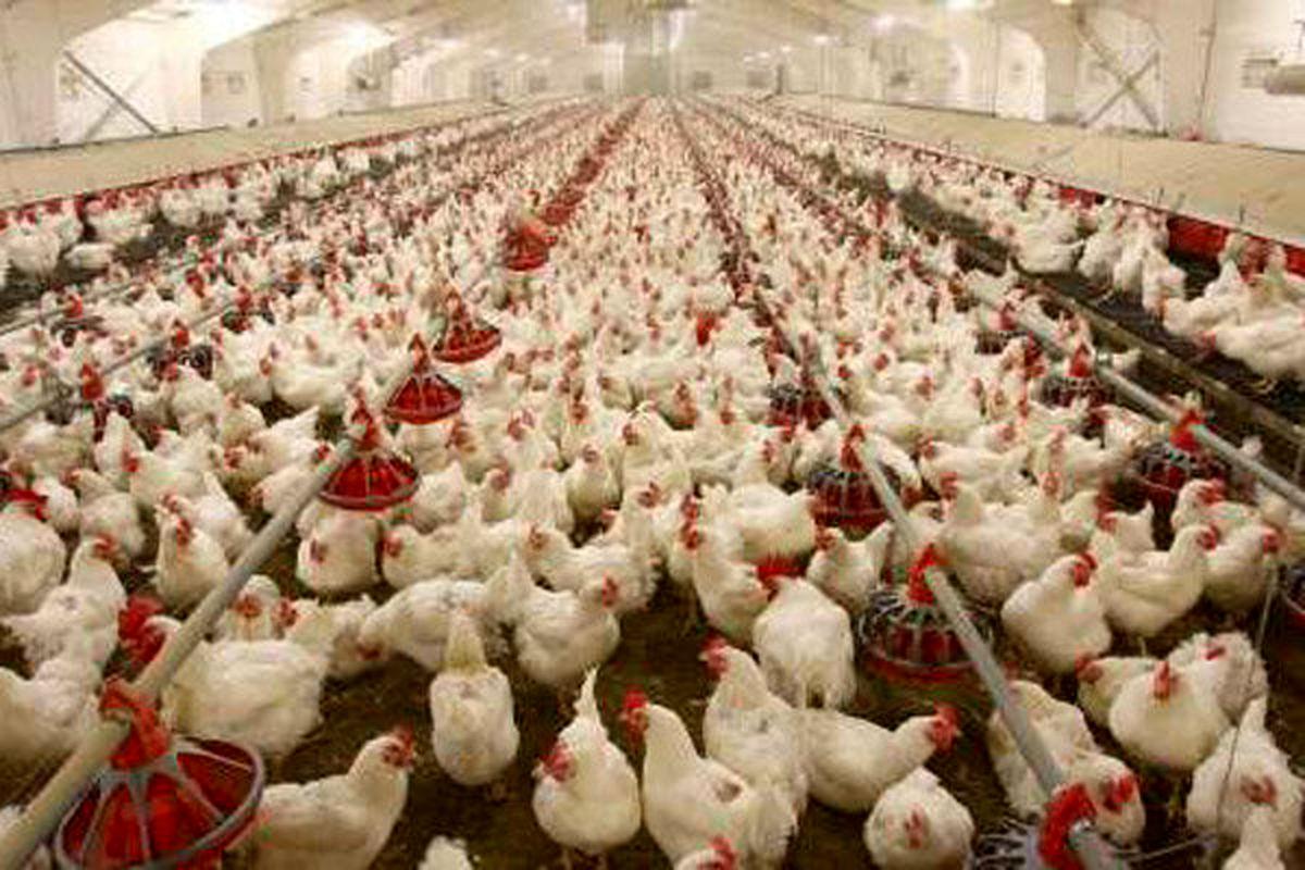 فروش مرغ بالاتر از ۱۵هزار تومان ممنوع است