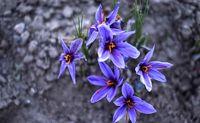 زراعت زعفران مبتنی بر قنات در سازمان فائو به ثبت رسید