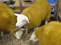 گوسفندان 2 میلیون دلاری +عکس