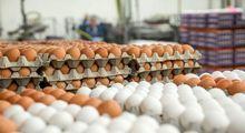 تولید داخلی تخم مرغ کافی است/ واردات تیر خلاص به تولید /دولت حیات 5ماه آینده مرغداران را تضمین کند