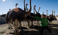 احیای روستای خالی از سکنه با پرورش شتر مرغ +تصاویر
