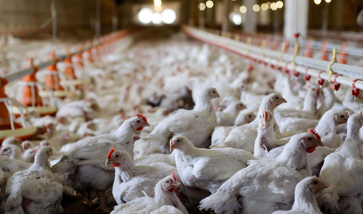 هجوم مردم به یک مرغداری در نیکشهر! +فیلم